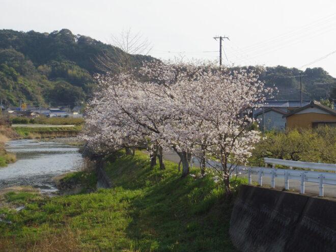 店の中から見える桜が良い感じです。